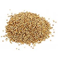 CORIANDRE en grain